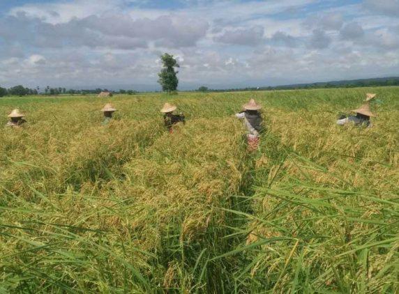 Hybrid rice seed